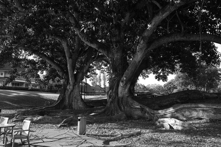 Banyan Tree, Lanai (Sigma DP3 Merrill)